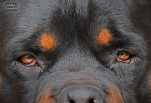 Disobedience Problems Rottweiler Training Mistakes
