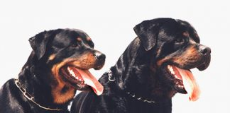 German Rottweiler and American Rottweiler