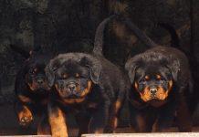 Rottweiler Temperament