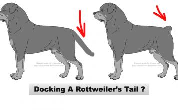 Rottweiler tails